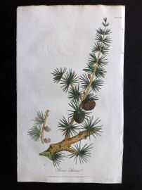 Cox Medical Botany 1822 Hand Col Botanical Print. Common Larch Tree 119